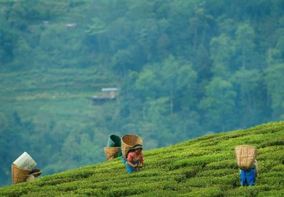 Tea Garden grown at gradually slope of Tendong Hill and only tea plantation in Sikkim