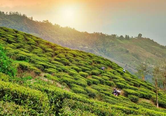 Tea plantations in Darjeeling. Stunning views of hills on sunrise