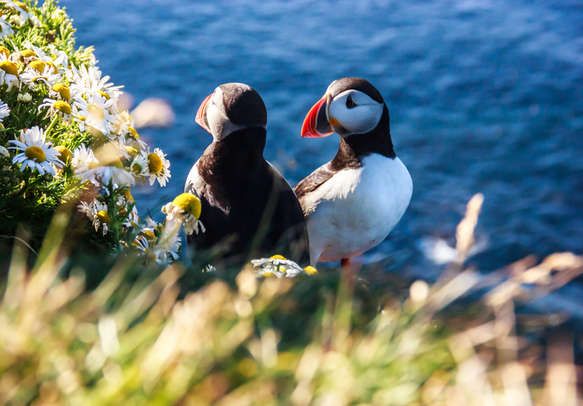 Icelandic Puffin bird couple standing in flower bushes on rocky cliff on sunny day at Latrabjarg