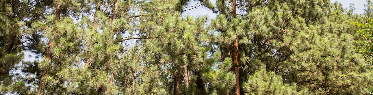Visit the famous Vagamon Pine Forest in Kerala