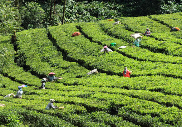 workers carry plucked tea leaves from the tea plantations