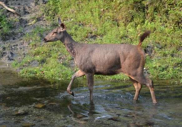 Sambar deer deep inside the forest of Dooars