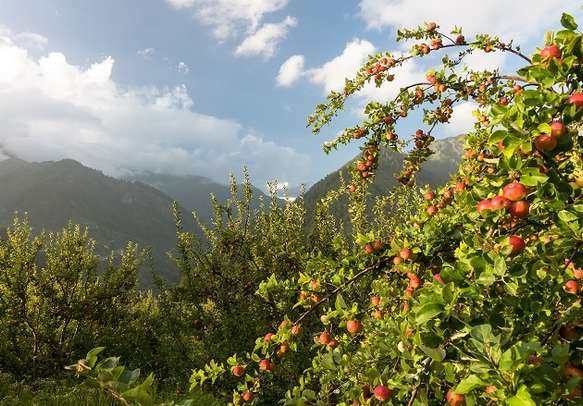 Apple orchards at Kasol