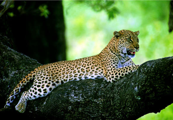 Spot leopard in Yala National Park on your Sri Lanka holiday