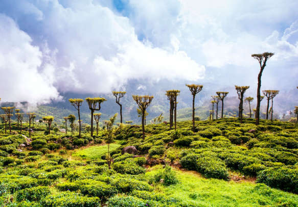 Lush tea estate in Sri Lanka