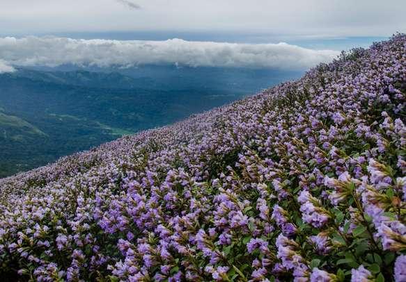 Witness the mesmerizing beauty of the Neelakurinji plants