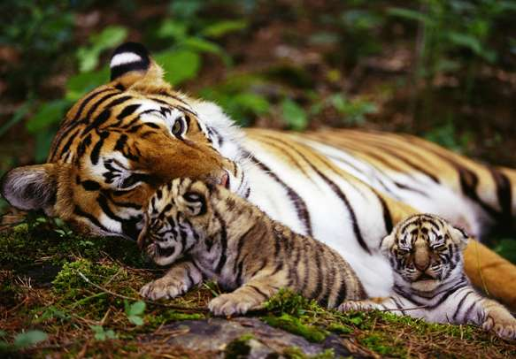 Tigers make an enchanting sight in God's own country