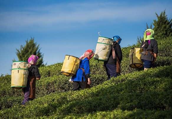 Visit the gorgeous tea plantations in Darjeeling