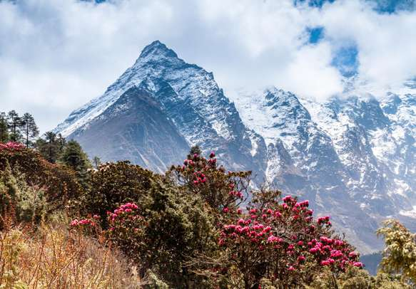 Wild rhododendrons in Yumthang Valley