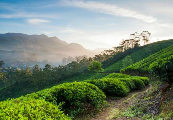 The gorgeous tea landscapes in God's own country