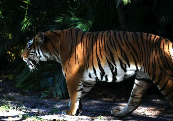 Watch the regal gait of the Royal Bengal Tiger with Uttarakhand tourism packages