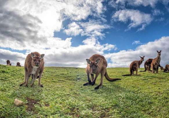 Kangaroos are a must see attraction on a trip to Australia.