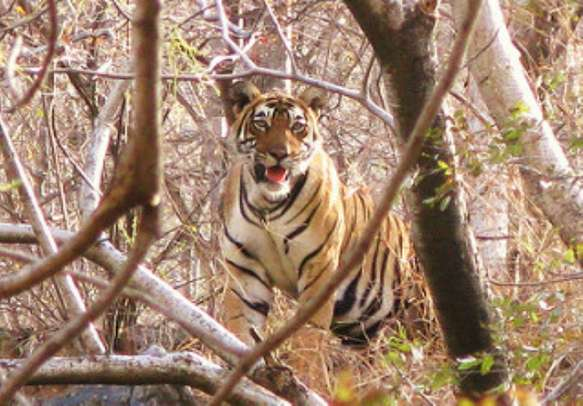 Come face to face with the King of the Jungle on this Sariska Tour