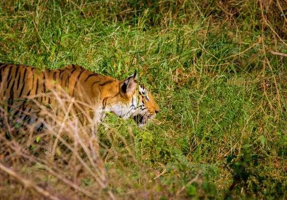 Majestic Bengal Tiger at Corbett