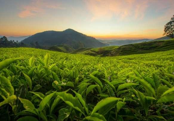 Enjoy the lush green tea plantations bordering your paths