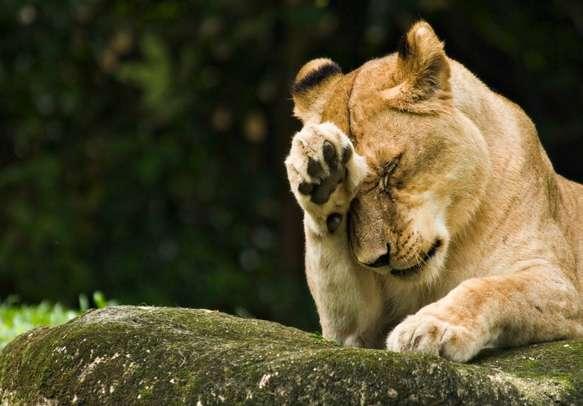 Watch wild animals in their natural habitat during a Night Safari trip
