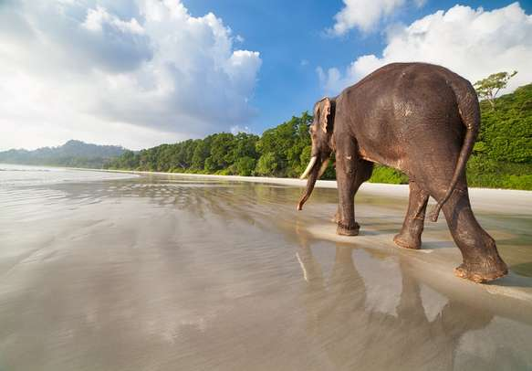Elephant walking at Havelock Island in Andaman.