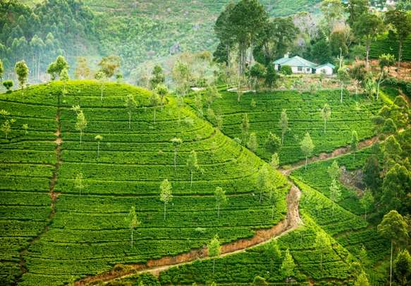 Sri Lanka is famous for its lush tea plantations.