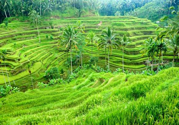 The picturesque tea plantations in Bali.