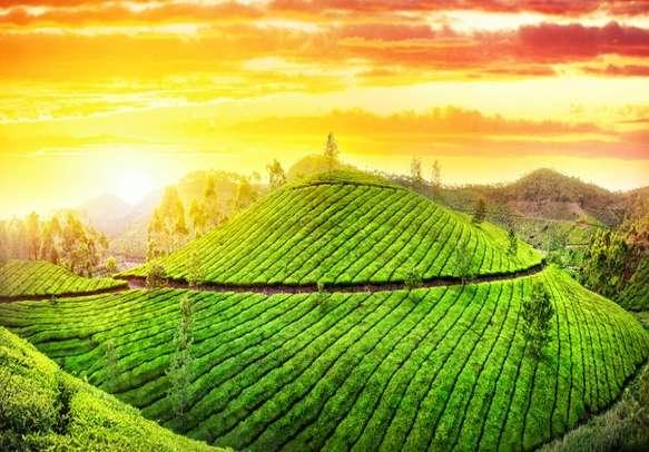 The picturesque tea plantations in Darjeeling.