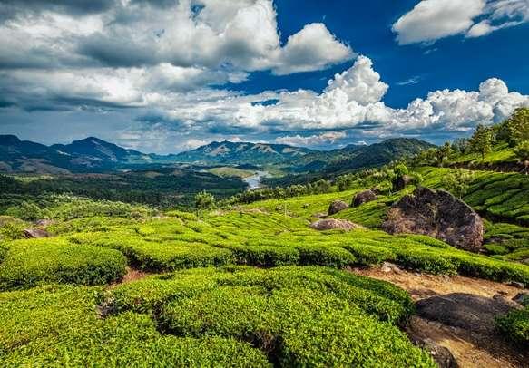 Visit tea plantations in the hills of Munnar
