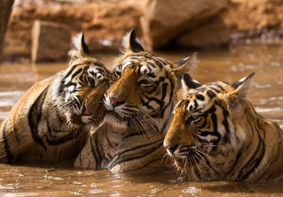A tiger family in Thekkady