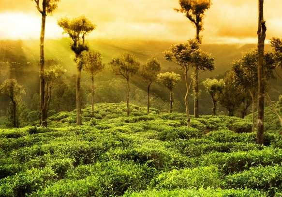 Glowing tea plantations in Munnar