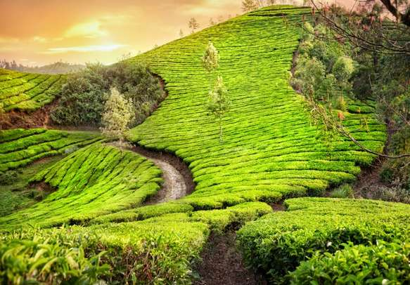 The scenic views of Munnar Tea estate will leave you in awe
