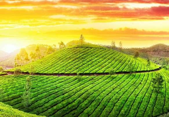 Bewitching morning view of Munnar tea gardens