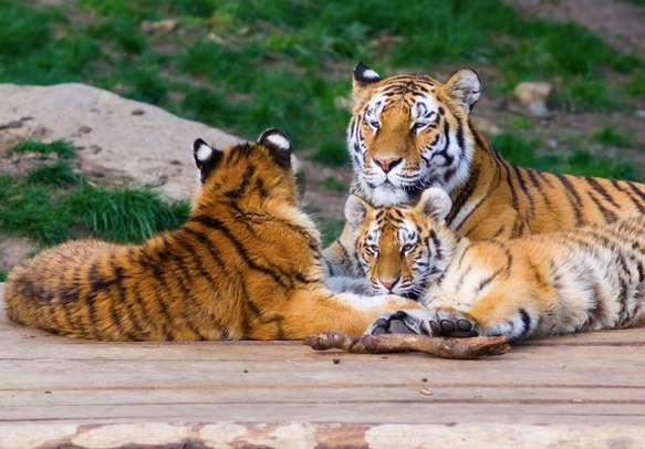 The tiger family in Thekkady