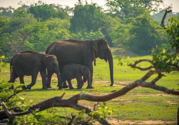 Watch elephants roaming in Yala National Park