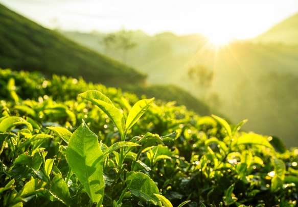 Go on a tour of the tea plantations in Munnar on this Kerala trip.