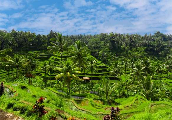 Visit the green rice  fields on Bali island on this holiday tour.