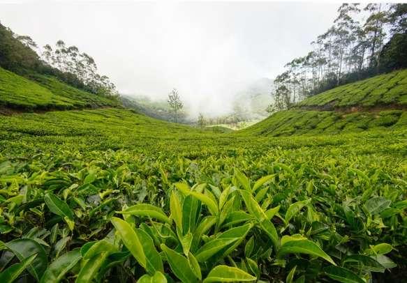 Enjoy visiting spice and tea plantations in Munnar