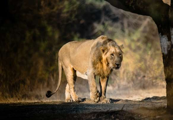 Visit the Gir National Park in Gujarat with your loved ones.
