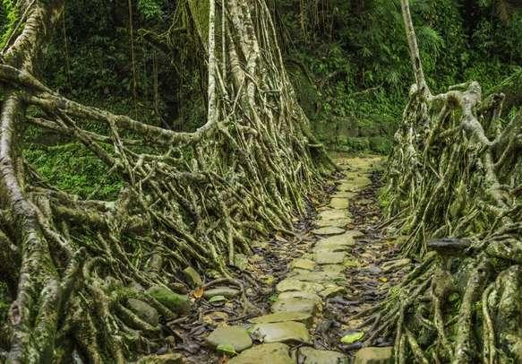 A living roots bridge, Meghalaya