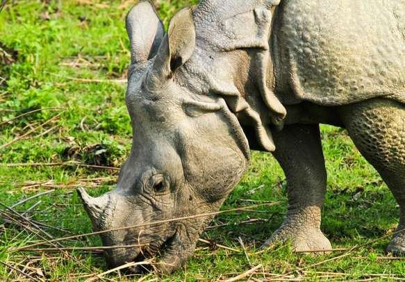 Watch out for single-horned rhinos in Kaziranga National Park