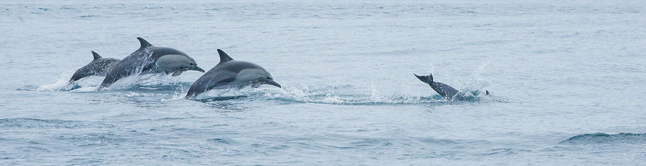 Enjoy the sight of dolphins in action at the Cherai Beach in Kochi
