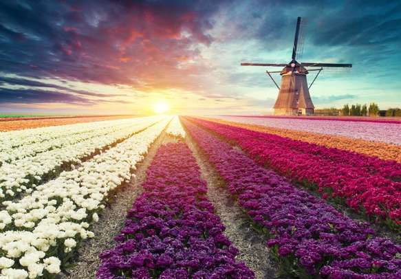 Netherlands scenery with typical windmill and tulips