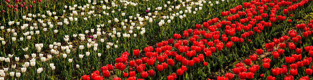The Tulip Garden in Kashmir is a must visit in the city
