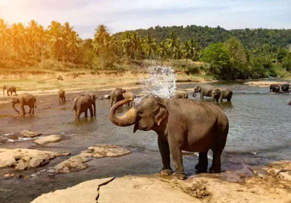 Elephants of Pinnawala Elephant Orphanage taking bath in the river