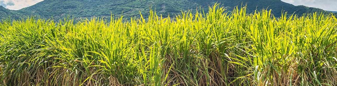 Walk across the beautiful sugarcane fields