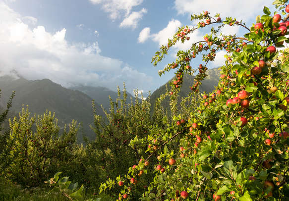 Pleasing orchards on the way to Kasol