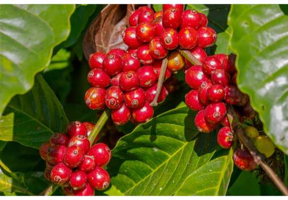 The vibrant coffeee beans buds