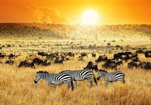 Spot zebras galloping around on a game drive in Kenya