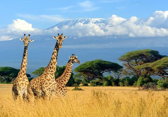 Spot giraffes on your game drive in Kenya