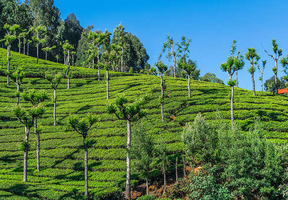Soak in the serenity and beauty of tea estates