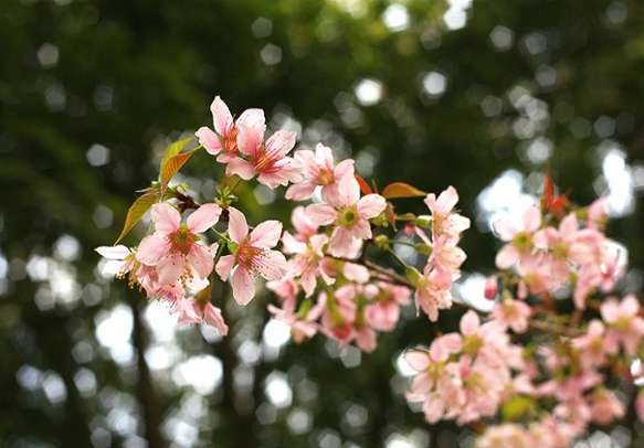 The refreshing Cherry Blossoms of Shillong are very calming
