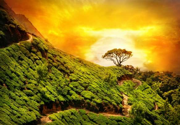 Rays of the sun on tea gardens perfectly depicts Munnar
