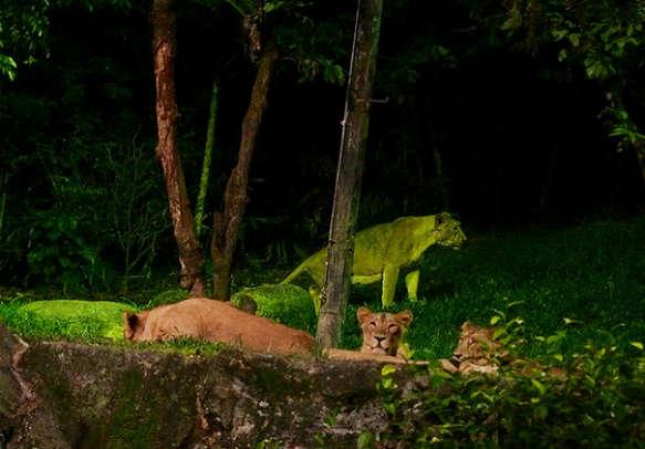 Watch safari lions in Langkawi